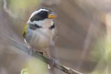 Sao Francisco Sparrow (Arremon franciscanus)