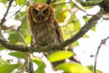 Tropical Screech Owl (Megascops choliba)
