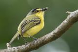 Yellow-lored tody-flycatcher or grey-headed Tody-flycatcher (Todirostrum poliocephalum)