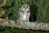 Striped Owl (Pseudoscops clamator)
