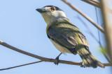 Green-backed Becard (Pachyramphus viridis)