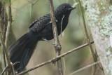 Large-tailed Antshrike (Mackenziaena leachii)