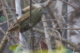 Greenish Schiffornis (Schiffornis virescens)