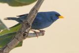 Blue Finch (Porphyrospiza caerulescens)