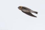 Tawny-headed Swallow (Alopochelidon fucata)