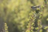 Pampa Finch (Embernagra platensis)