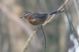 Ferruginous Antbird (Drymophila ferruginea)