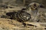 Spot-tailed Nightjar (Hydropsalis maculicaudus)