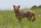 Hoary Fox (Lycalopex vetulus)