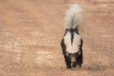 Striped Hog-nosed Skunk (Conepatus semistriatus)