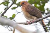 Blue-eyed Ground Dove (Columbina cyanopis)