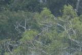 Cherry-throated Tanager (Nemosia rourei)