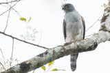 Rufous-thighed Kite (Harpagus diodon)