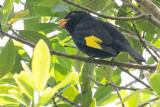 Black-and-gold Cotinga (Tijuca atra)