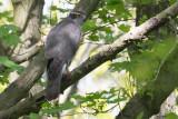 Common Goshawk