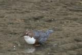 Eurasian Dipper