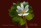 Bloodroot On Red Background