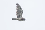 short-toed_eagle