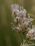 Veel bloemen -- Multiple flowerings