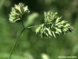 Bossige bloem -- Bushy flowering