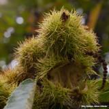 Kastanje - Chestnut