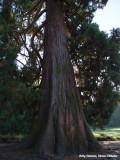 Mammoetboom - Sequoia