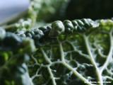 Savooiekool - Savoy cabbage