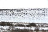 Suzane Whitney - 01 - Large Herd of Elk