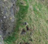 April 2019 Day4  Perigrine falcon Gunver head