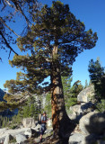 Day 4 To Tuolumne Meadows - Sierra Juniper tree- one of our favourites out here