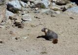 Marmot digging in the gravel at Darwin Lakes