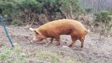 March- Hillockhead pig