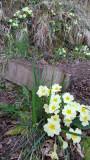 April- Primroses emerge at Hillockhead