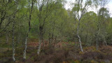 May- Greener birch at Pitlundie