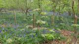 May- Bluebells at Bay Wood