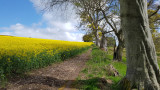 May- Rapeseed near Gallows Hill