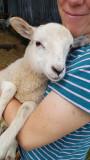 June- Lambs!