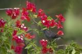 Seychelles sunbird (Cinnyris dussumieri)