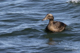 Canards, oies... / Ducks, geese...