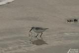 Sanderling / Bécasseau sanderling (Calidris alba)