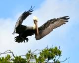 Pelican in flight, Islamorada, Florida Keys 568