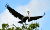 Just about to land, Little Basin, Florida Keys, Islamorada 569