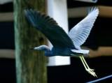 Blue Heron, Islamorada, Florida Keys 561
