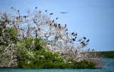 Cormorants, Frigate Birds, and Pelican on mangrove, Yellow Shark Channel, Little Basin, Islamorada, Florida Keys, Florida 662