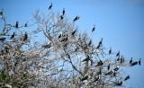 Cormorants, Frigate Birds, and Pelican on mangrove, Yellow Shark Channel, Little Basin, Islamorada, Florida Keys, Florida 726