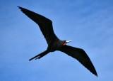 Frigatebird, Florida Keys, Islamorada Florida 708