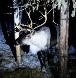 Reindeer at George's Reinder Farm, Fairbanks, Alaska 924