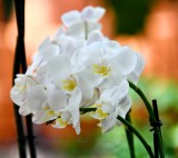 White Orchid at Island Home Nursery, Tavenier, Florida 126