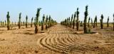 Dates Farm in Al Ghat, Saudi Arabia 757