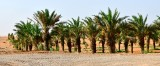 Dates Farm in Al Ghat, Saudi Arabia 741